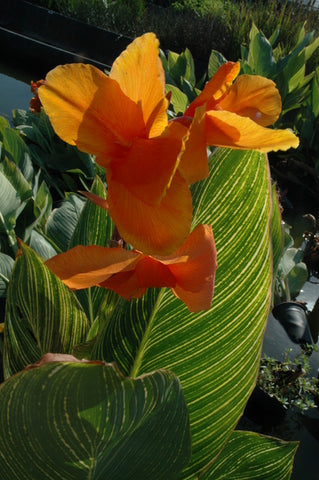 Canna 'Bengal Tiger' (Bare Root) - Minimum Qty. 5 Per Variety