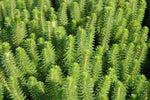 Hippuris Species 'Feathery Mare's Tail' (Bare Root) - Minimum Qty. 5 Per Variety