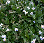 Myosotis Scirpoidis 'Blue Forget-Me-Not' (Bare Root) - Minimum Qty. 5 Per Variety