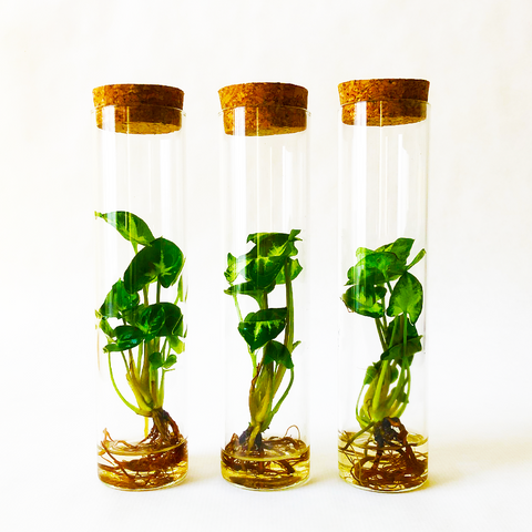 Caribbean Waterplant In Glass Tube