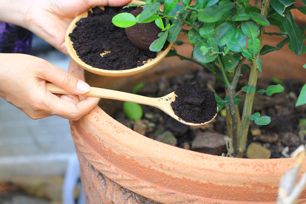 putting coffee grounds in soil