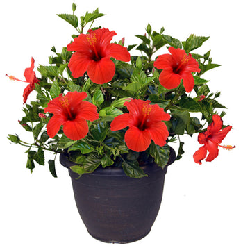 "10"" Hibiscus Bush (Colors Vary)"