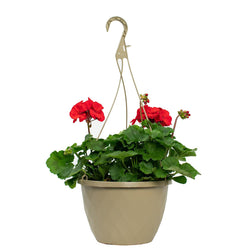 10 Inch Hanging Basket - Geranium (Colors Vary)