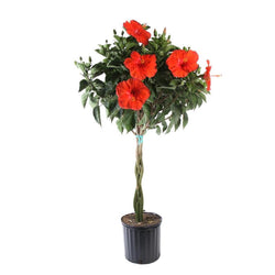 "10"" Hibiscus Braided Tree (Colors  Vary)"