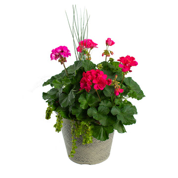 "12"" Geranium Combo (Colors Vary)"