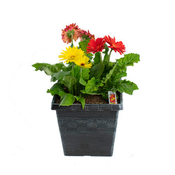 "10"" Square Pot - Gerber Daisy (Colors Vary)"