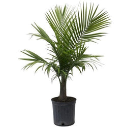"10""Potted Majesty Palm 3' tall"