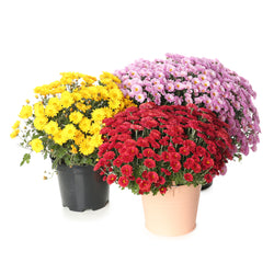 "(3) 10"" Fall Chyrsanthemum - Assorted Colors"