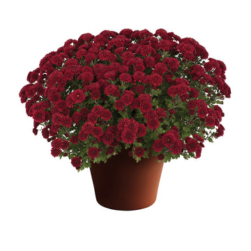 "8"" Fall Chrysanthemum - Red"