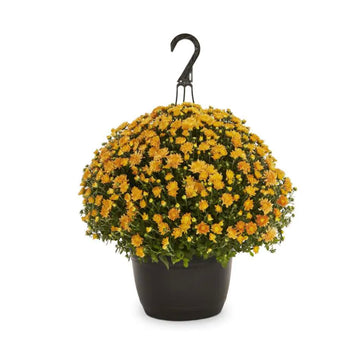 "12"" Hanging Basket Chrysanthemum"