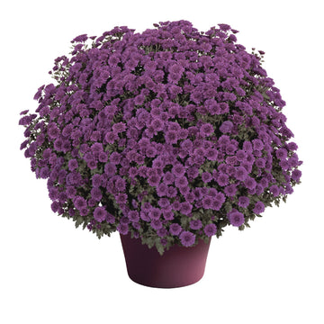 "8"" Fall Chrysanthemum - Lavender"
