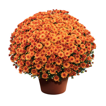 "8"" Fall Chrysanthemum - Rust"
