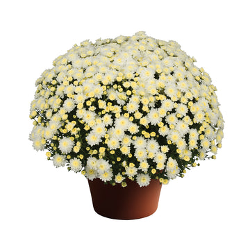 "8"" Fall Chrysanthemum - White"