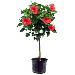 "10"" Hibiscus Standard Tree (Colors Vary)"