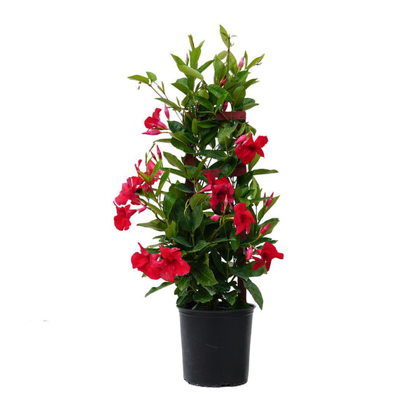 "6"" Potted Mandevilla Trellis 14"" tall (Colors Vary)"