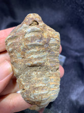 Load image into Gallery viewer, Trilobite Fossil