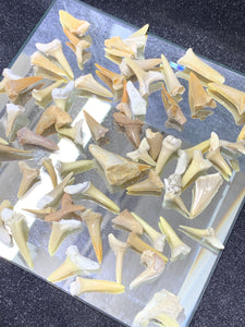 Fossil Shark Tooth - 10 Pieces