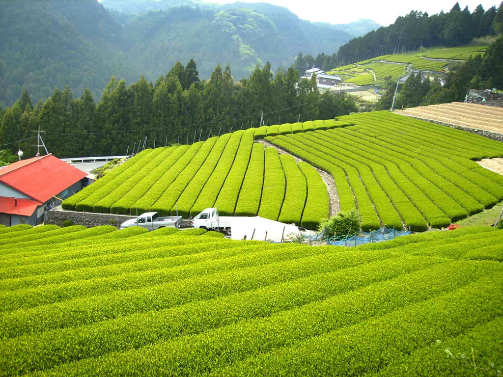 Teefarm Japan Grün