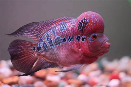 Flowerhorn Cichlids Collection