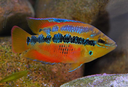 SOUTH AND CENTRAL AMERICAN CICHLID
