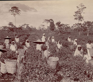 Traditional tea production