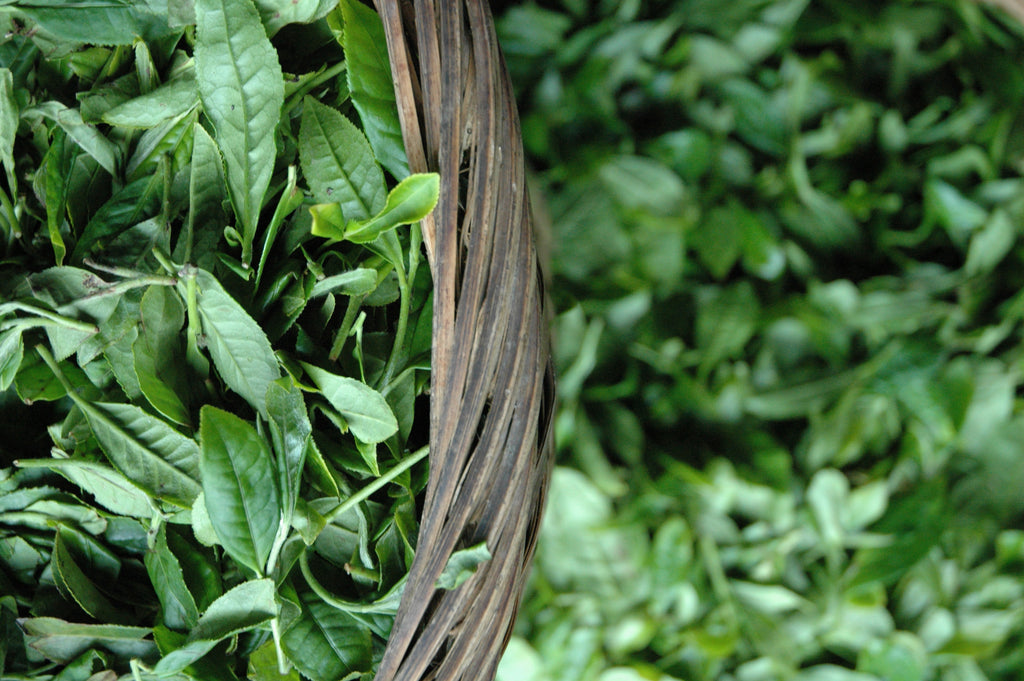 Tea growing traditions