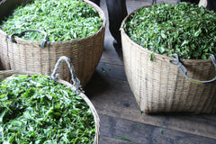 Green tea leaves in baskets