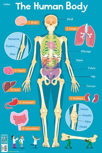 Human Body (Collins Children's Poster)