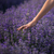Lavender - 100% Pure Therapeutic Grade Essential Oil
