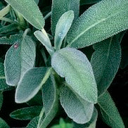 French Sage Oil LMR