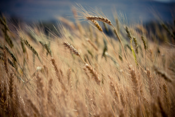 Is whisky gluten free wheat
