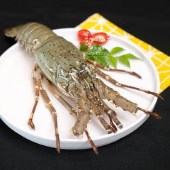 Rock Lobster / 龙虾
