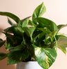 Pothos House Plant in Handcrafted Gold Ceramic Planter