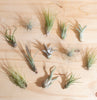 Assorted Tropical Tillandsia Air Plants (Collection of 12)