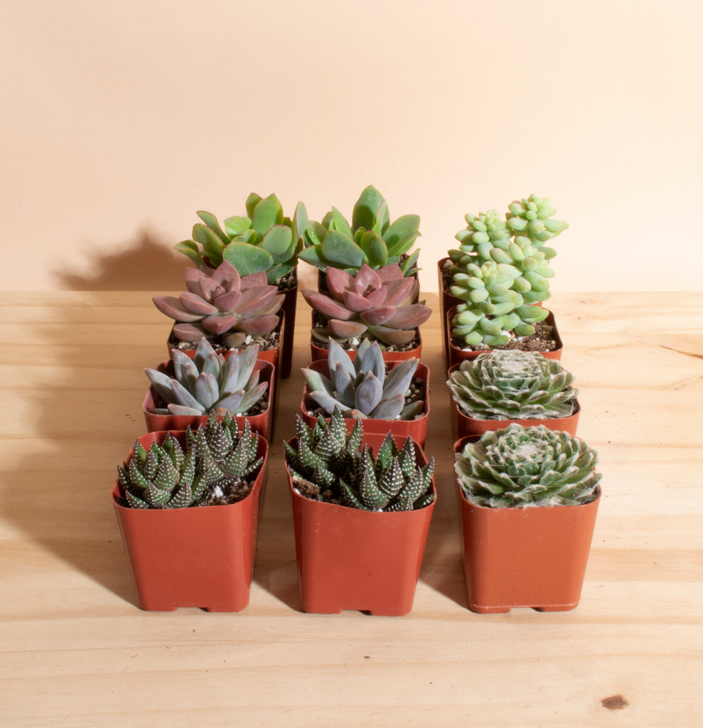 Mini Assorted Succulent Collection of 12