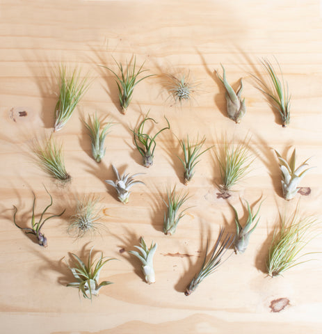 Assorted Tropical Tillandsia Air Plants (Collection of 20)