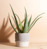 Aloe Vera in Two-Toned Ceramic Planter
