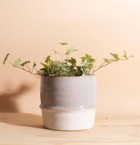 Variegated Ivy in Two-Toned Ceramic Planter