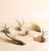 Assorted Tropical Tillandsia Air Plants (Collection of 6)