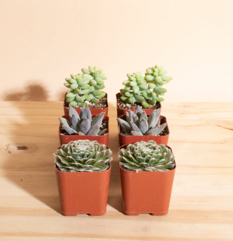 Mini Assorted Succulent Collection of 6