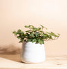 English Ivy House Plant in Handcrafted Gold Ceramic Planter