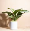 Aglaonema Silver Bay 'Chinese Evergreen' in White Mid Century Ceramic Cylinder Planter