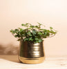 English Ivy House Plant in Handcrafted White Ceramic Planter