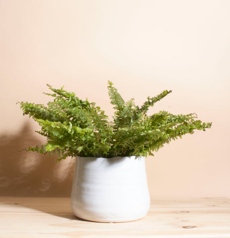 Boston Fern House Plant in Handcrafted White Ceramic Planter