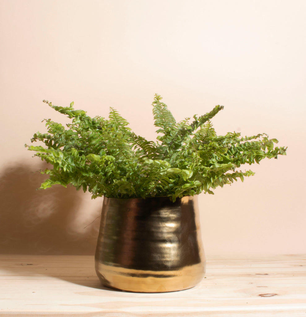 Boston Fern House Plant in Handcrafted Gold Ceramic Planter