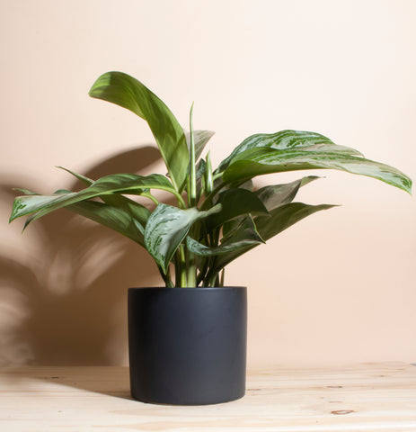 Aglaonema Silver Bay 'Chinese Evergreen' in Black Mid Century Ceramic Cylinder Planter