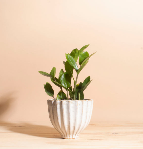 Zanzibar Gem 'ZZ Plant' in Ceramic Honeycomb Planter