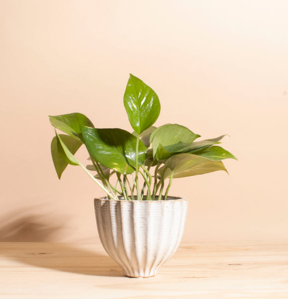 Pothos in Ceramic Honeycomb Planter