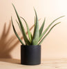 Aloe Vera in Black Mid Century Cylinder Ceramic Planter