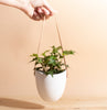English Ivy in Hanging Ceramic Planter with Leather Strap